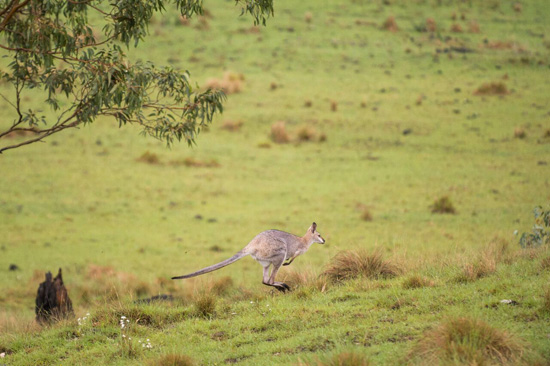 kangaroo-at-spicers
